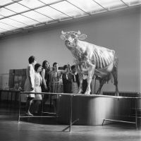 Glass cow in the permanent exhibition of the German Hygiene Museum. Photo Richard Peter jr., 1967. Collection Slub Dresden / Fotothek